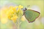 Grüner Zipfelfalter (Callophrys rubi) 10