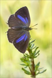 Blauer Eichenzipfelfalter (Favonius quercus) 10