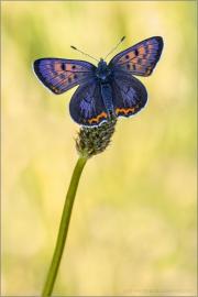 Blauschillernder Feuerfalter 05 (Lycaena helle)