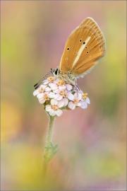 Weißdolch Bläuling (Polyommatus damon) 10