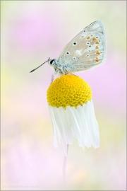Wundklee-Bläuling 02 (Polyommatus dorylas)