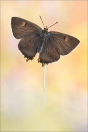 Nierenfleck-Zipfelfalter 04 (Thecla betulae)