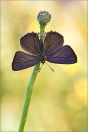 Blauer-Eichenzipfelfalter (Favonius quercus) 05