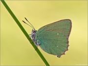 Grüner Zipfelfalter 01 (Callophrys rubi)