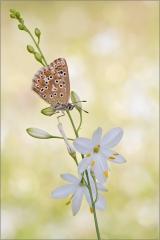 Silbergrüner Bläuling 01 (Polyommatus coridon)