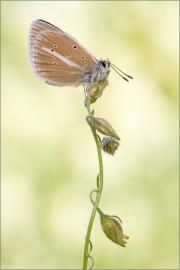 Weißdolch-Bläuling 01 (Polyommatus damon)