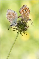 Silbergrüner Bläuling Paarung 03 (Polyommatus coridon)
