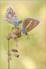 (Polyommatus coridon) und Weißdolch-Bläuling 02 (Polyommatus damon)
