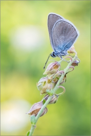 Rotklee-Bläuling 03 (Polyommatus semiargus)