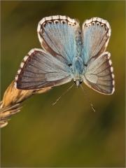 Silbergrüner Bläuling 04 (Polyommatus coridon)