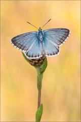 Silbergrüner Bläuling 09 (Polyommatus coridon)