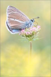 Weißdolch Bläuling (Polyommatus damon) 04