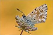 Silbergrüner Bläuling 05 (Polyommatus coridon)
