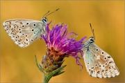 Silbergrüner Bläuling 06 (Polyommatus coridon)