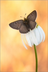 Brauner Feuerfalter (Lycaena tityrus) 04
