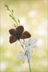 Silbergrüner Bläuling 02 (Polyommatus coridon)