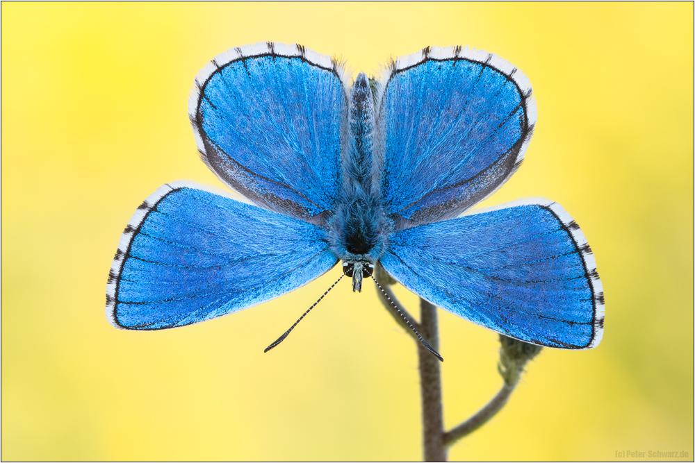 Himmelblauer Bläuling (Polyommatus bellargus) 01