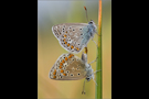 Hauhechel-Bläuling Paarung 01 (Polyommatus icarus)