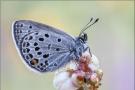 Hochmoor-Bläuling (Agriades optilete) 03