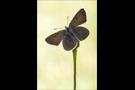 Storchschnabel-Bläuling (Aricia eumedon) 02