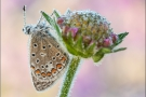 Hauhechel-Bläuling (Polyommatus icarus) 23