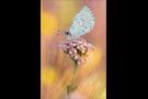 Faulbaumbläuling (Celastrina argiolus) 02