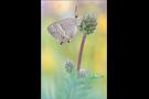 Blauer Eichenzipfelfalter (Favonius quercus) 09