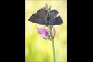 Spanischer Blauer Zipfelfalter (Laeosopis roboris) 11