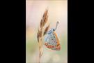 Großer Feuerfalter (Lycaena dispar) 11