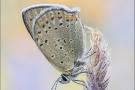 Brauner Feuerfalter (Lycaena tityrus) 09