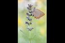 Spanischer Blauer Zipfelfalter (Laeosopis roboris) 10