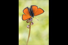Lilagold-Feuerfalter 03 (Lycaena hippothoe)