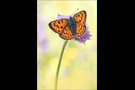 Violetter Feuerfalter (Lycaena alciphron) 06