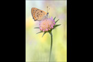 Violetter Feuerfalter (Lycaena alciphron) 05