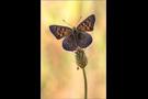 Blau-Brauner Feuerfalter (Lycaena bleusei) 01