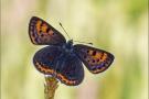 Blauschillernder Feuerfalter 06 (Lycaena helle)
