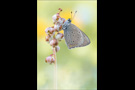 Lilagold-Feuerfalter 02 (Lycaena hippothoe)