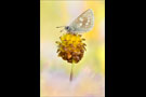 Heller Alpenbläuling (Plebejus orbitulus) 02