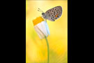 Hochmoor-Bläuling (Plebejus optilete) 02