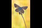 Weißdolch Bläuling (Polyommatus damon) 07