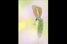 Weißdolch Bläuling (Polyommatus damon) 08