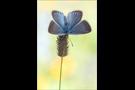 Weißdolch Bläuling (Polyommatus damon) 06