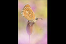 Zahnflügel-Bläuling (Polyommatus daphnis) 07