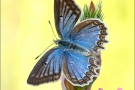 Zahnflügel-Bläuling (Polyommatus daphnis) 11