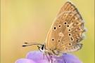 Zahnflügel-Bläuling (Polyommatus daphnis) 10