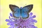 Zahnflügel-Bläuling (Polyommatus daphnis) 08