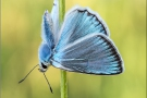 Zahnflügel-Bläuling (Polyommatus daphnis) 09
