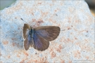African Grass Blue (Zizeeria knysna) 02