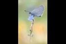 Zwerg-Bläuling (Cupido minimus) 01