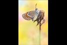 Argus-Bläuling (Plebejus argus) 02
